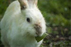 草をはむウサギ