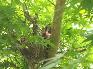 ヒヨドリのヒナと巣