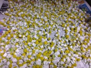 カモミールの花を乾燥させる