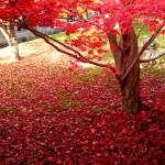 2015年、紅葉の京都の見ごろを予想する方法